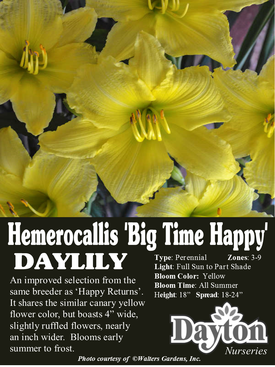 Hemerocallis big time happy daylily an improved selection from it shares the similar canary yellow flower color but boasts wide slightly ruffled flowers mightylinksfo