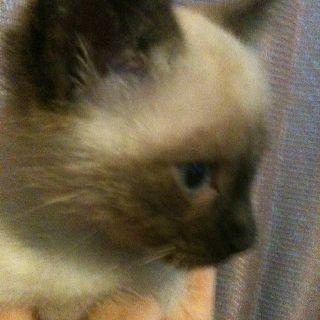 Topsy.  Seal Point Siamese kitten.