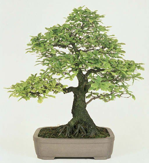 Bonsai eiche bonsai pinterest eiche bonsai baum und for Bonsai hydrokultur