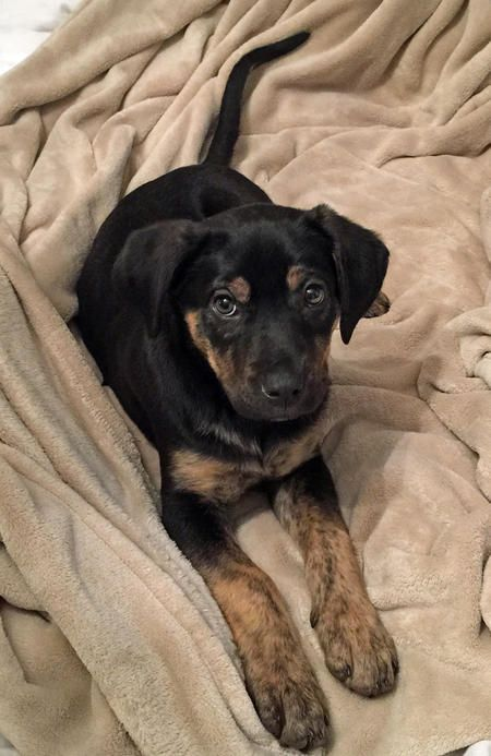 Remy The Labrador Mix Pictures 1052583 Rottweiler Mix Puppies
