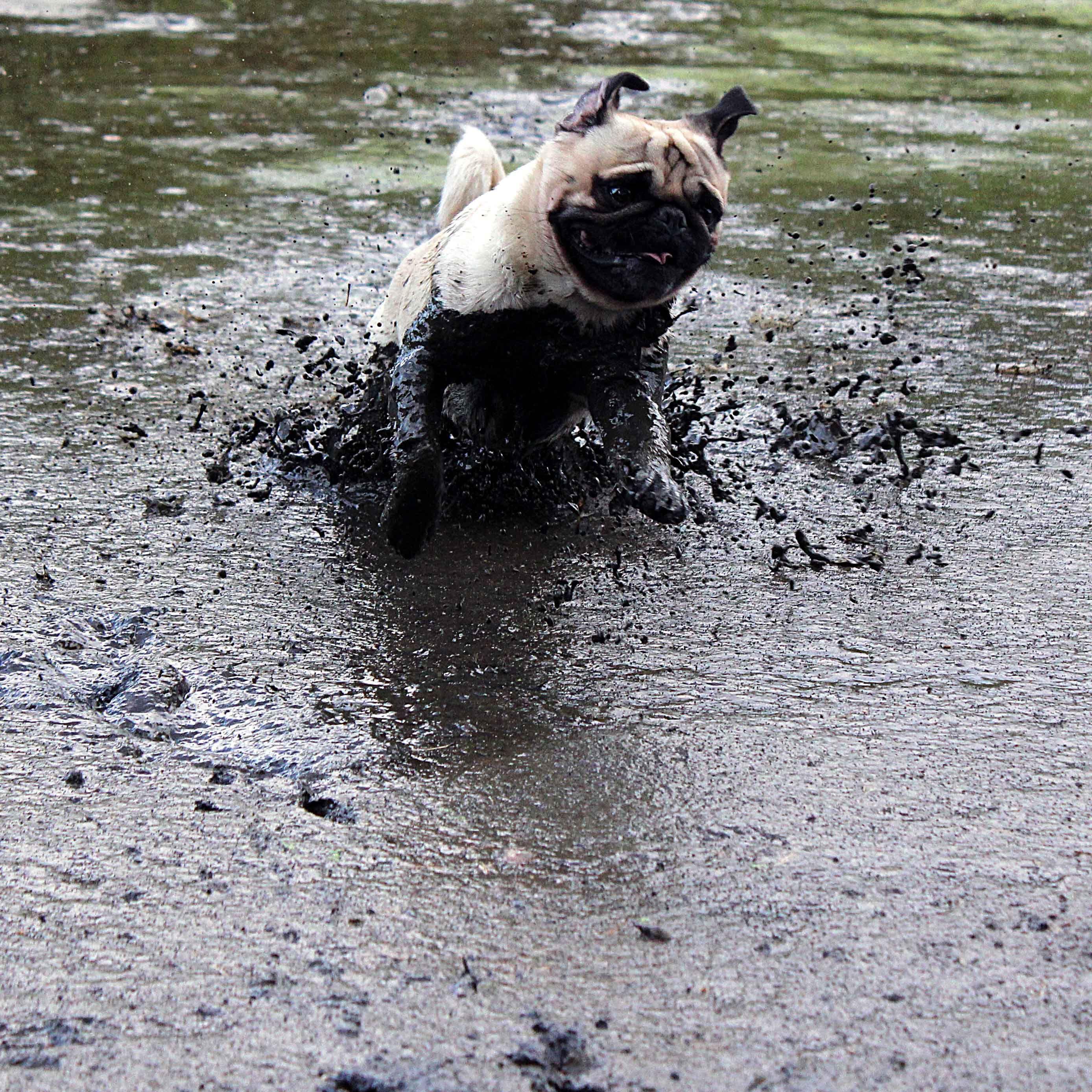 Resultado de imagen para pug mud