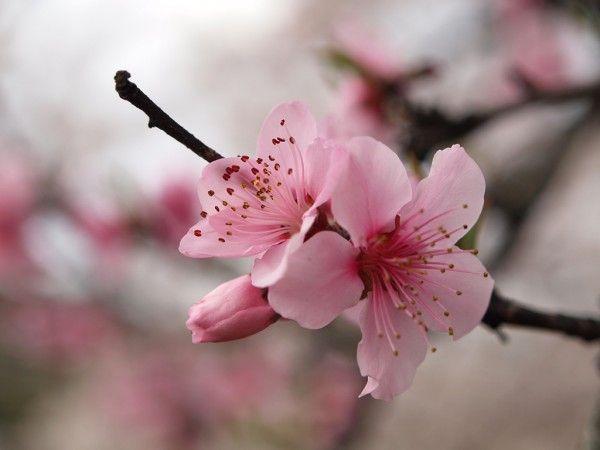 Cherry Blossom I Cherry Blossom Flowers Cherry Blooms Japanese Flowers