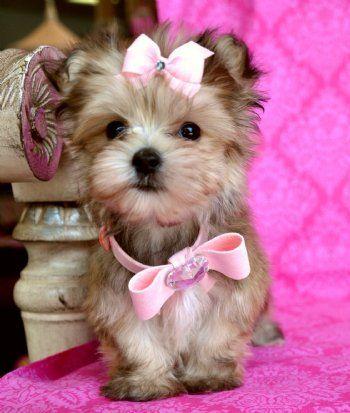teacup morkie puppies animals pinterest hunde. Black Bedroom Furniture Sets. Home Design Ideas