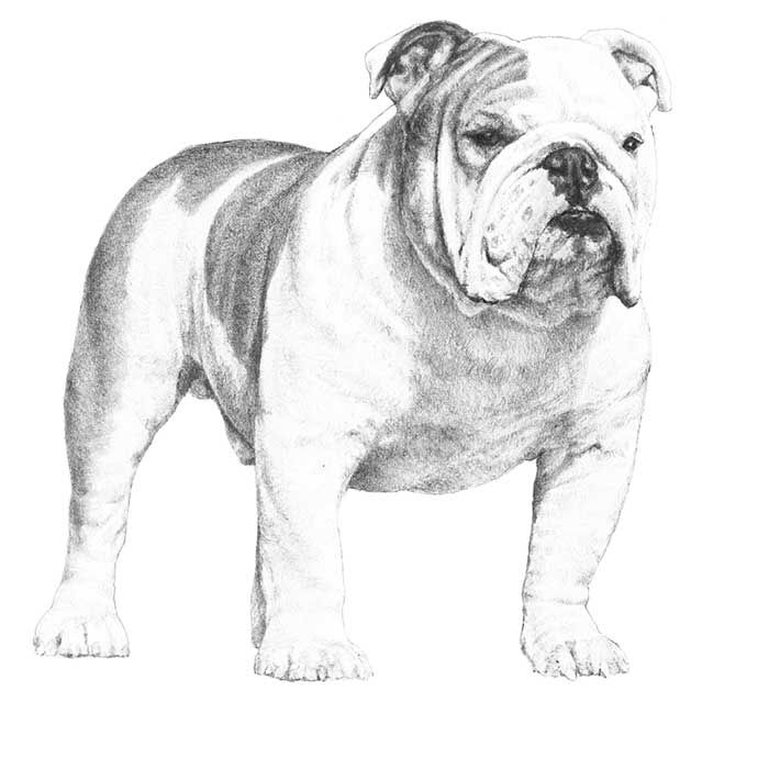 Bulldog Dog Breed Information Bulldog Breeds Bulldog Puppies