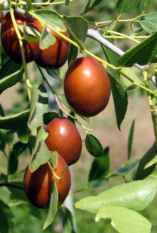 Jujube Tree Temperate Climate Permaculture Alternitive Fruits Wildlife Habitat