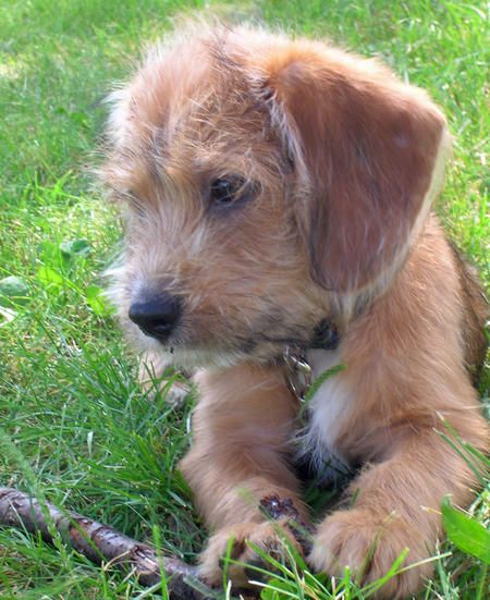 wirehaired dachshund beagle i think this is probably