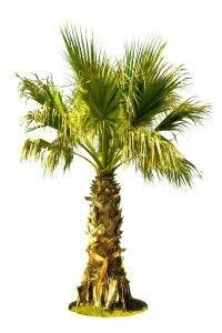 How To Grow Palm Trees In Zone 5