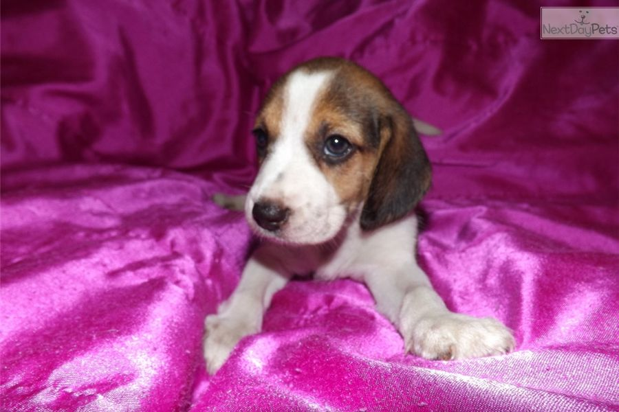 Beagle Puppy For Sale Near Des Moines Iowa A4b34797 F8d1 Cute