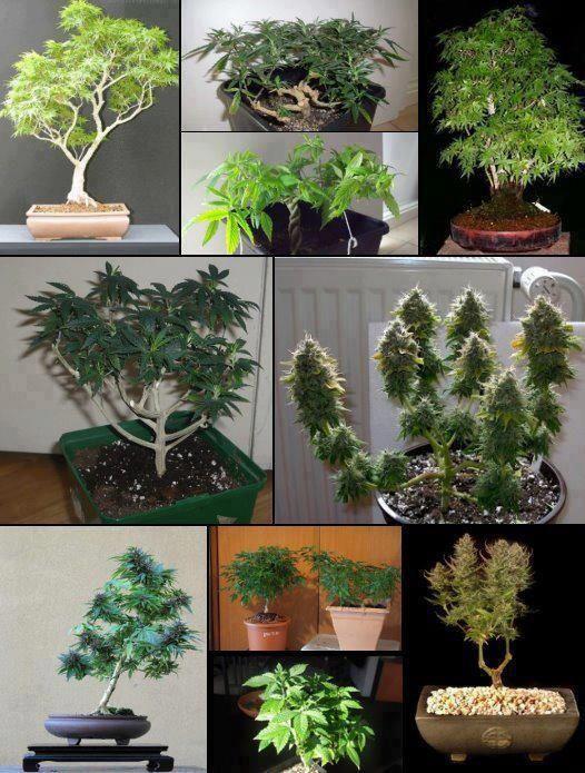 pin von patrick z auf growing pinterest cannabis kiffen und hanf. Black Bedroom Furniture Sets. Home Design Ideas