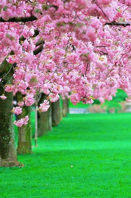 Pin By Trang On Cherry Blossoms Botanical Gardens Brooklyn Botanical Garden Botanical Gardens Near Me