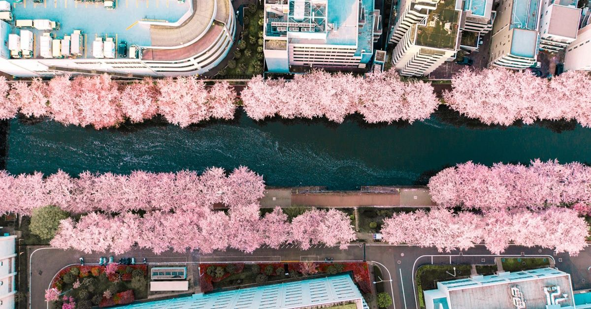 Photographer Uses Drone To Capture Cherry Blossom Time In Japan Cherry Blossom Urban Landscape Aerial Images
