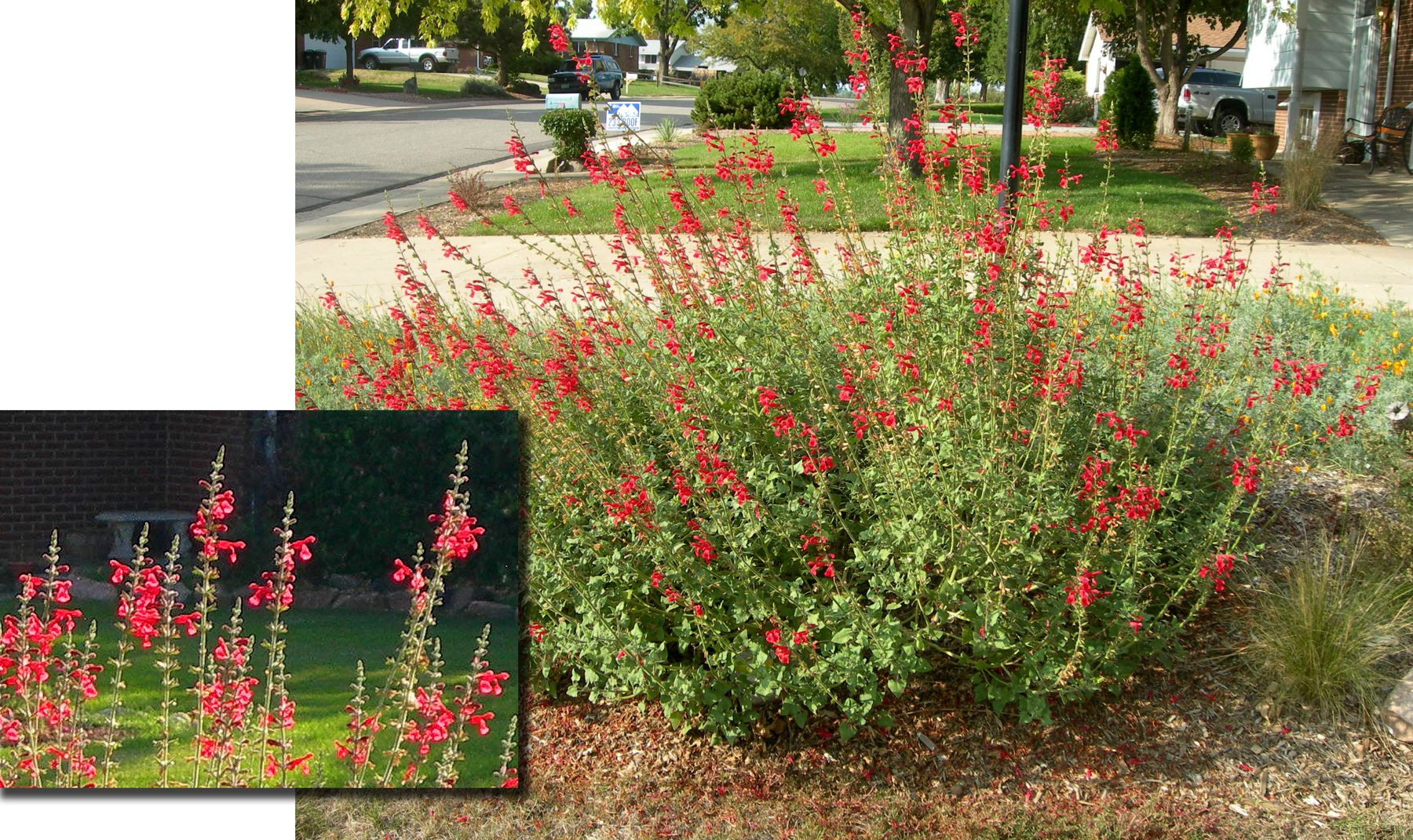 Vermilion bluffs mexican sage a large sized flowering perennial vermilion bluffs mexican sage a large sized flowering perennial that is a real attention grabber i have found this plant to be an excellent choice for mightylinksfo