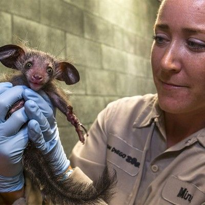 Caption A Rare Baby Aye Aye Made For An Adorable Handful When It