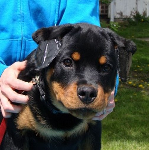 Ear Taping Puppies Rottweiler Dogs
