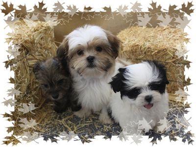 Boomers Pups Te Koop Google Zoeken Shih Tzu Pinterest Pup