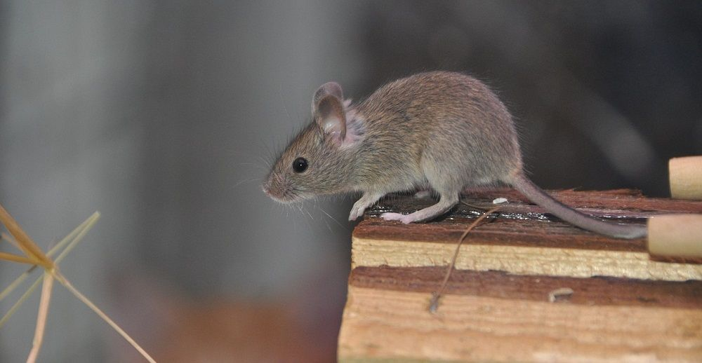 how to catch a rat without killing it