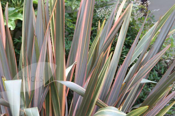 flax maori queen plants google search backyard. Black Bedroom Furniture Sets. Home Design Ideas
