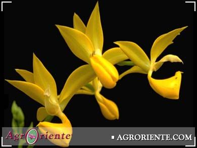 Orqu deas mormodes buccinator flores exoticas for Vivero plantas exoticas
