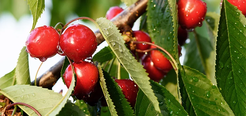 How To Plant And Grow A Cherry Tree Bunnings Warehouse Cherry Tree Growing Cherry Trees Plants