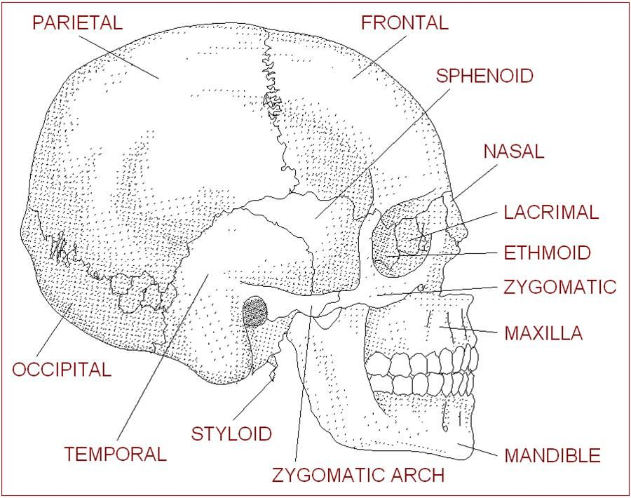 anatomy labeling worksheets - bing images | esthetics | pinterest, Skeleton