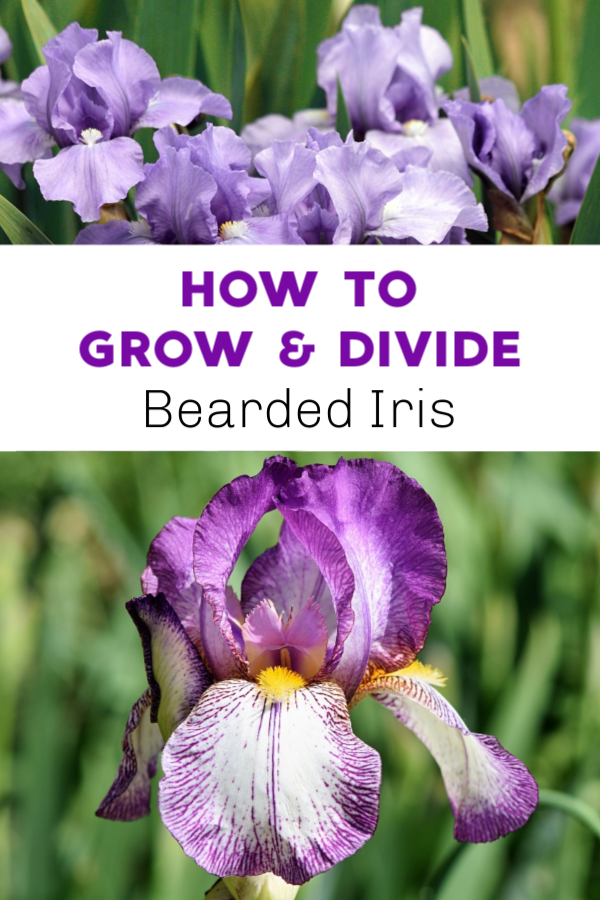 How To Grow And Divide Bearded Iris Bearded Iris Planting Bulbs Iris Flowers