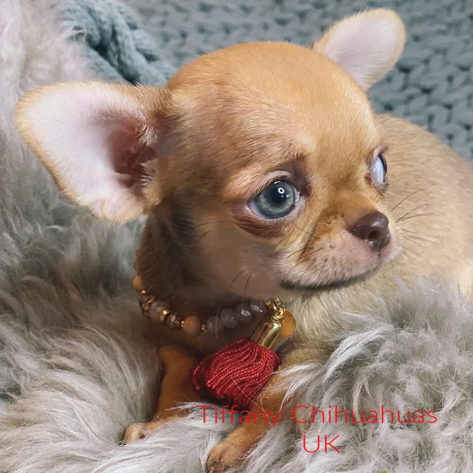 Cream Fawn Chihuahua Boy With Blue Eyes Bred By Tiffany