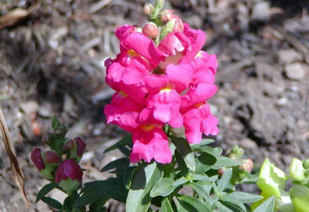 1,000 Pelleted Seeds Snapdragon Montego Rose Flower
