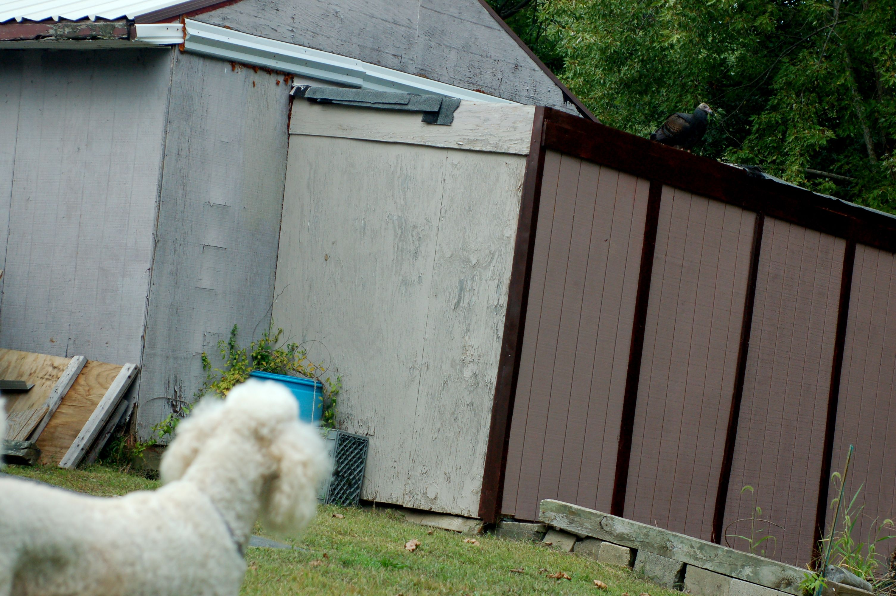Lacey watching the vulture.