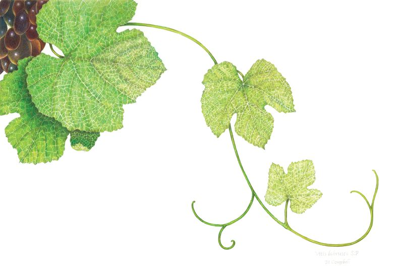 Michael T Campbell | American Society of Botanical Artists