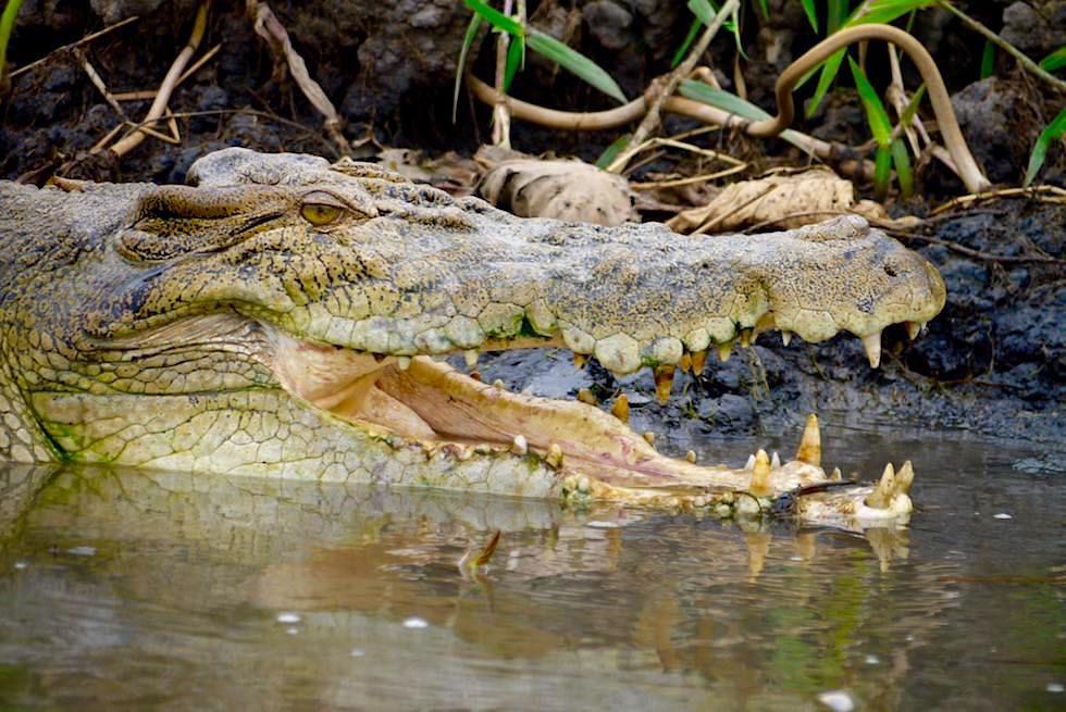 Kopf Salzwasserkrokodil Oder Leistenkrokodil Corroboree Northern Territory Leistenkrokodil Tiere Salzwasserkrokodil