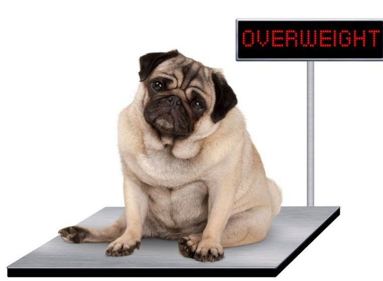 World News In Tweets On Overweight Dog Diabetic Dog Dogs
