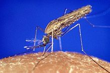 """Le paludisme ou le paludisme, également appelé """"fièvre des marais"""", est un …   – Les grandes maladies de l'Histoire"""