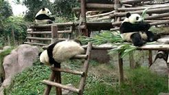 funniest panda - YouTube