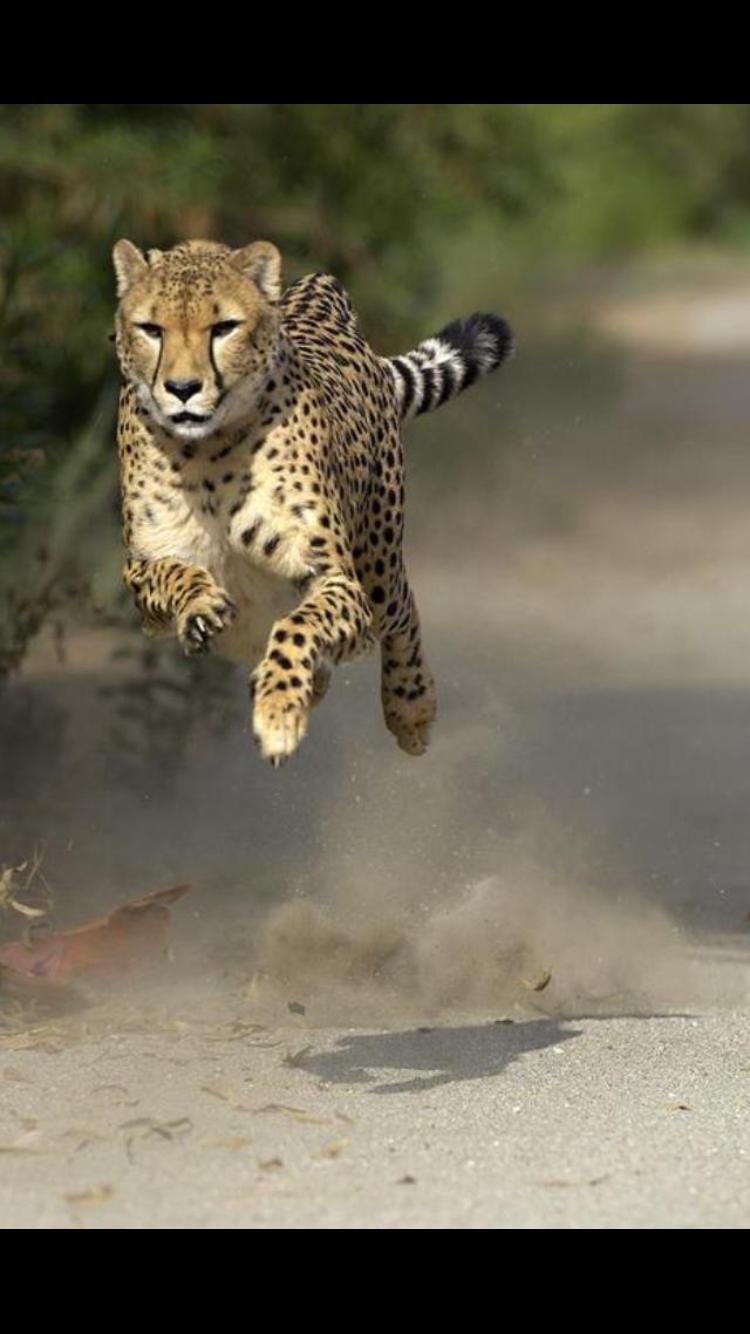 Animaux Sauvages, Photos Prises Au Parfait Moment, Photographie Animalière,  Trucs De Chat, Métal, Papier Peint, Animaux Africains, Fauves, Maine Coon