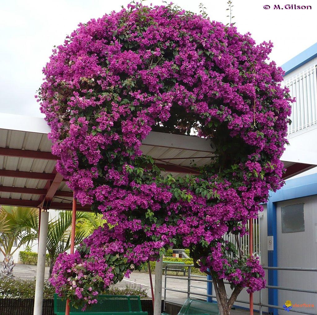 Bougainville Fleur tout photo : bougainvillier (bougainvillea spectabilis) … | pinteres…