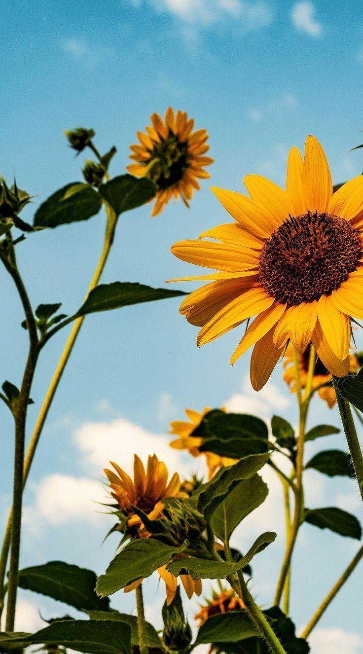 Sunflower HD mobile wallpapers | Sunflower wallpaper ...