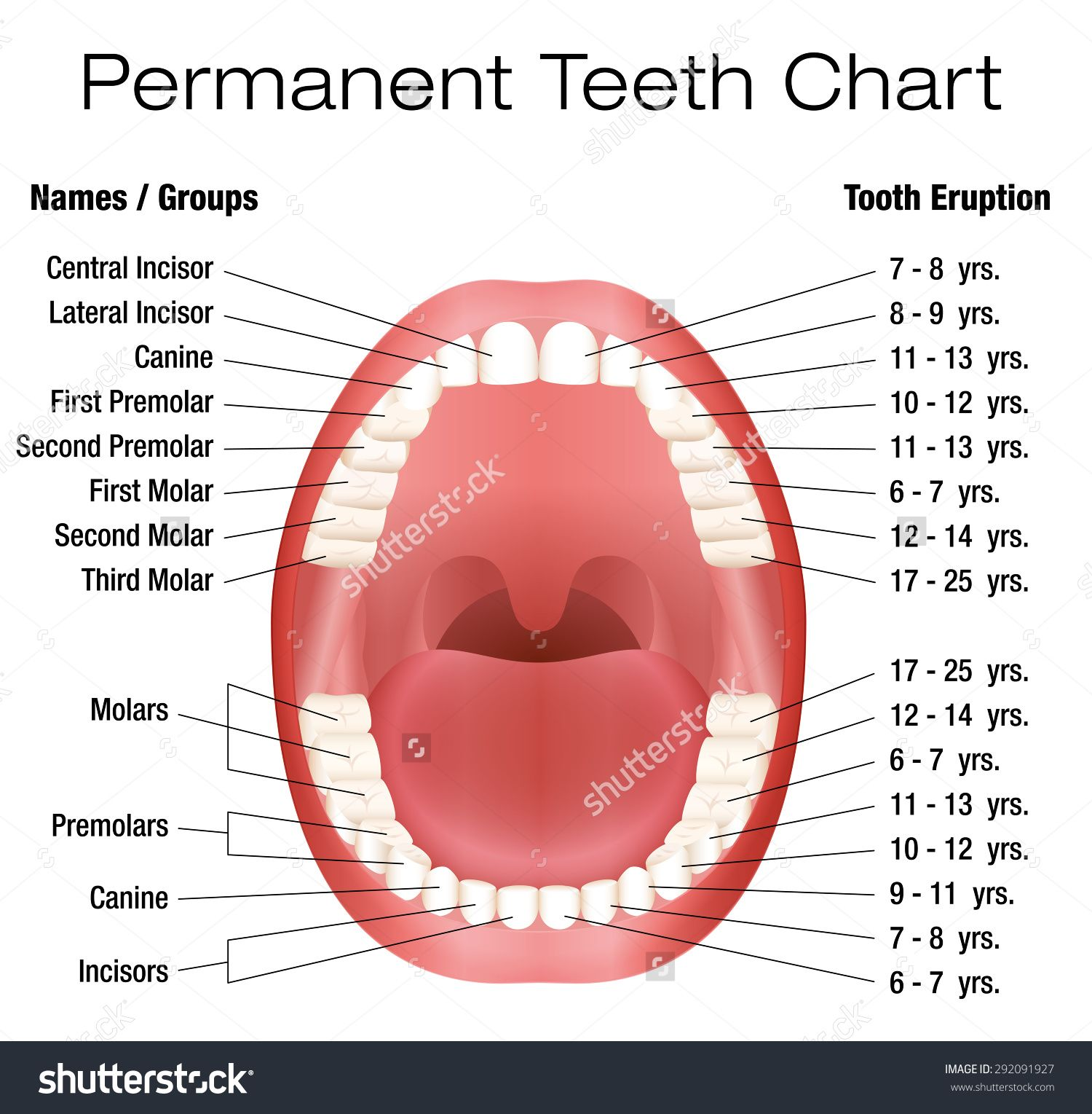 teeth eruption chart teeth images human teeth body organs tooth diagram [ 1500 x 1529 Pixel ]