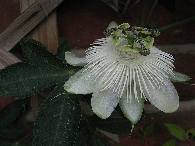 Passiflora 'White Wedding'