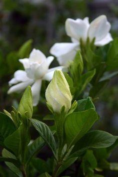 El Jazmin Del Cabo Jazmin Del Cabo Cultivo De Flores Y Plantas