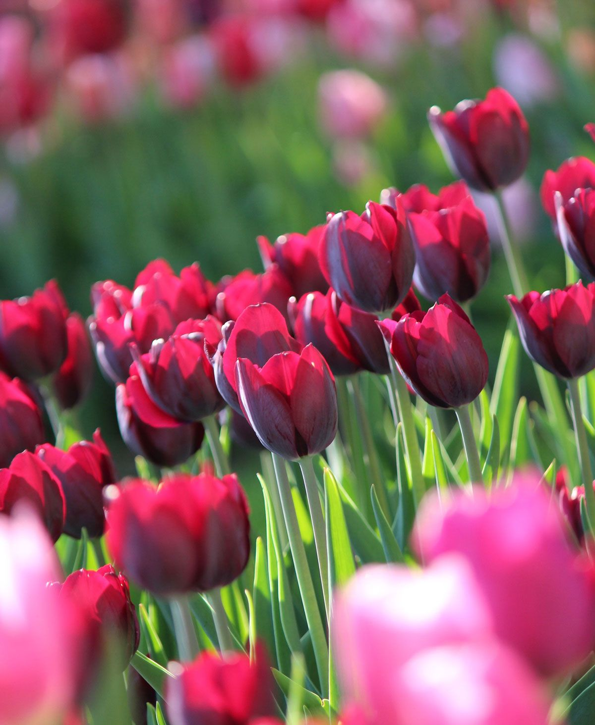 How To Care For Spring Flower Bulbs After They Bloom Bulb Flowers Spring Flowering Bulbs Spring Bulbs Garden