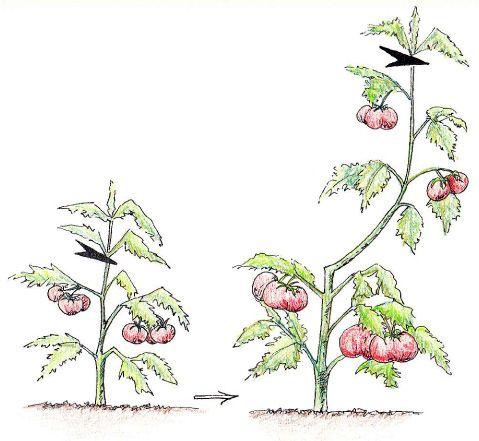 pincer les tomates gourmander et effeuiller prune cuttings pinterest jardinage. Black Bedroom Furniture Sets. Home Design Ideas