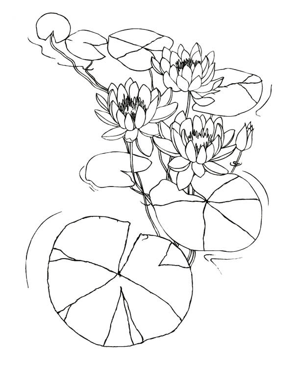 Water Lily Flowers Among Lily Pad Coloring Page Color Luna