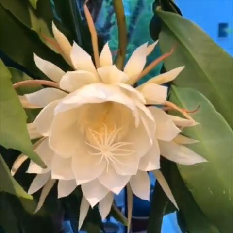 A blooming Epiphyllum Oxypetalum succulent