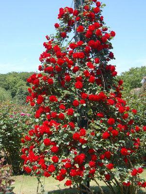 Розы в дизайне сада и дачного участка (с изображениями ...