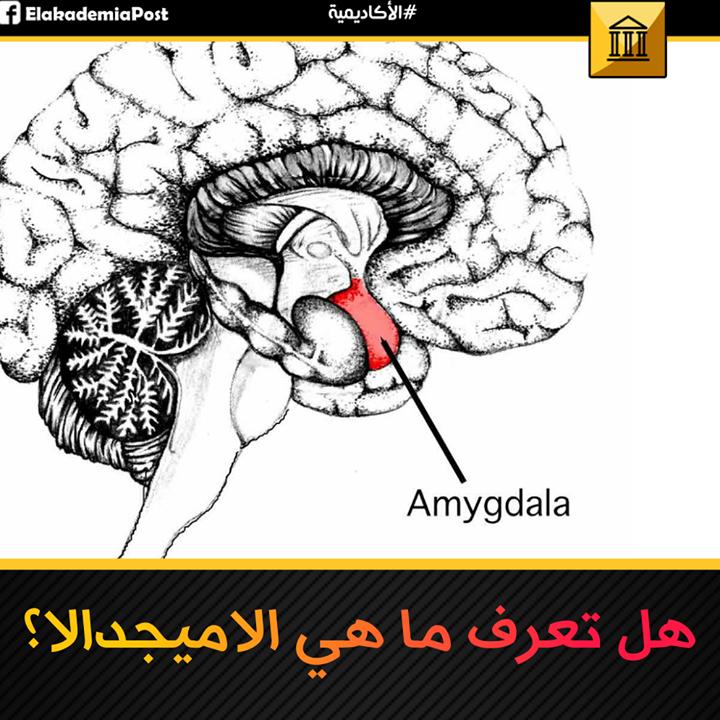 الأميجدالا Amygdala أو اللوزة الدماغية وهي المنطقة في الدماغ المرتبطة في المقام الأول بالاحساس والعواطف الإنسانية يشتق اسمها من الكلمة اليونانية Amygdale و