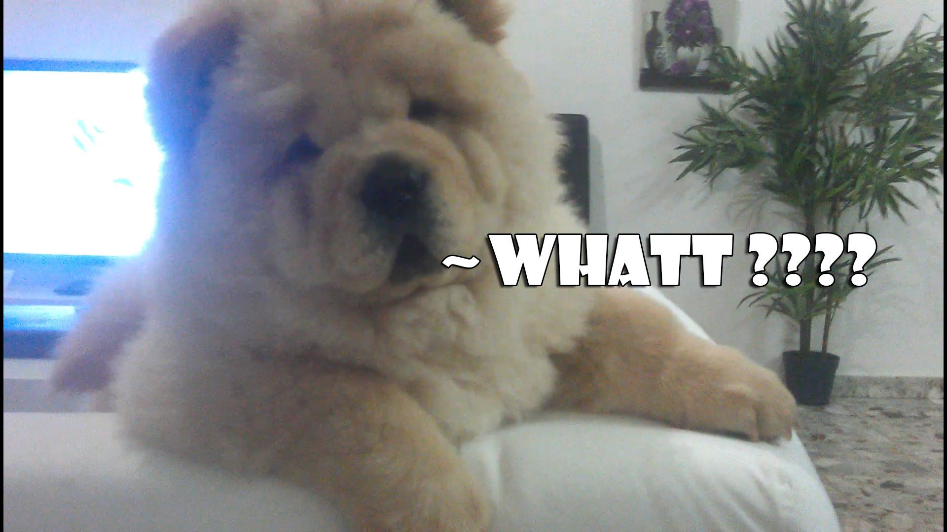 White Chow Chow Puppy Out Of Control Amazing Chow Dog Breed