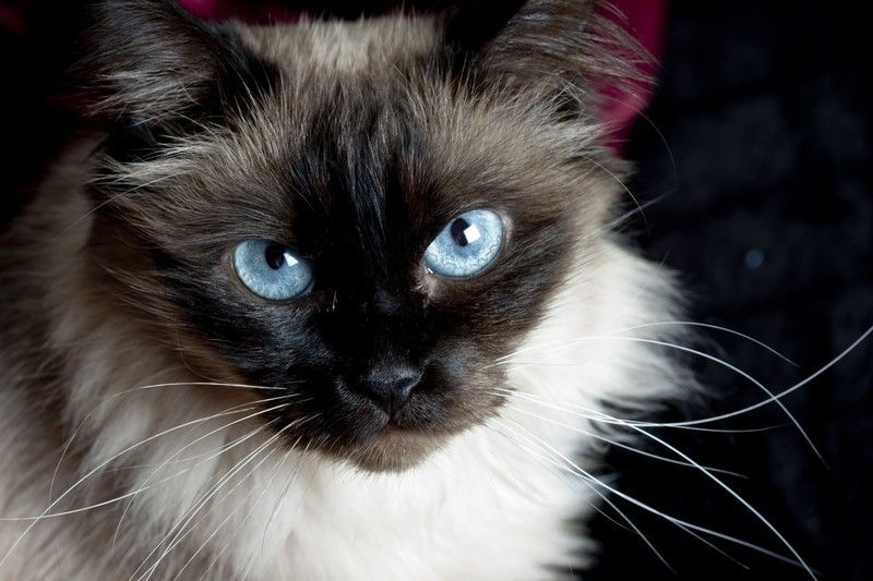 The Balinese Is A Long Haired Breed Of Domestic Cat With