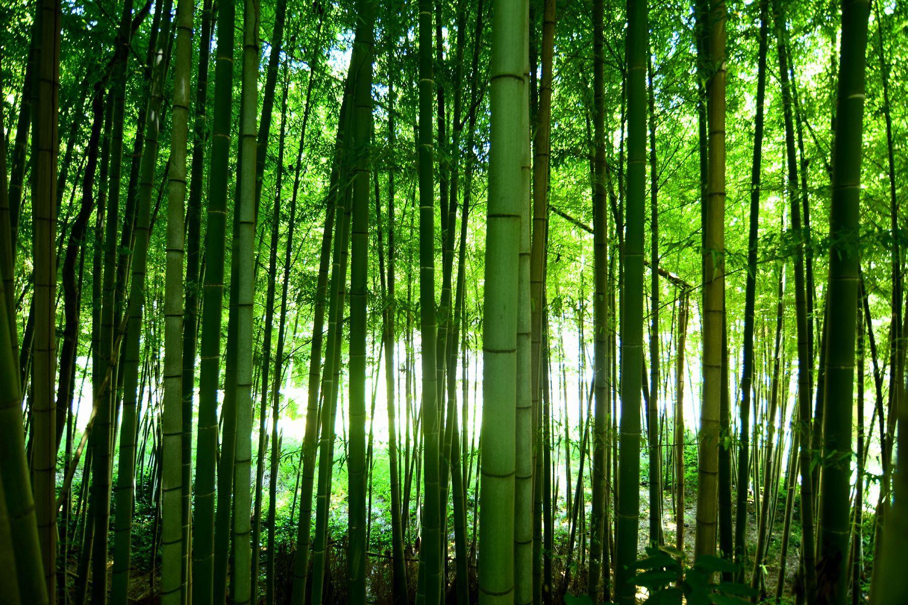 「初夏の竹林」(市川市国府台) Bamboo Grove in the early summer / Konodai,Ichikawa city,Japan