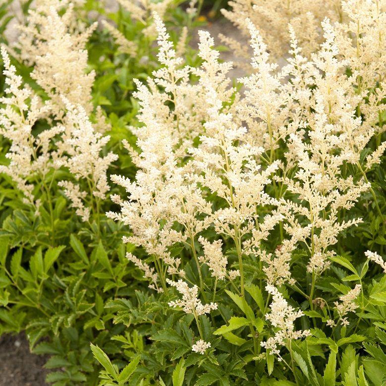 Perennial Snowdrift Astilbe Shade Loving Perennials Perennials Astilbe