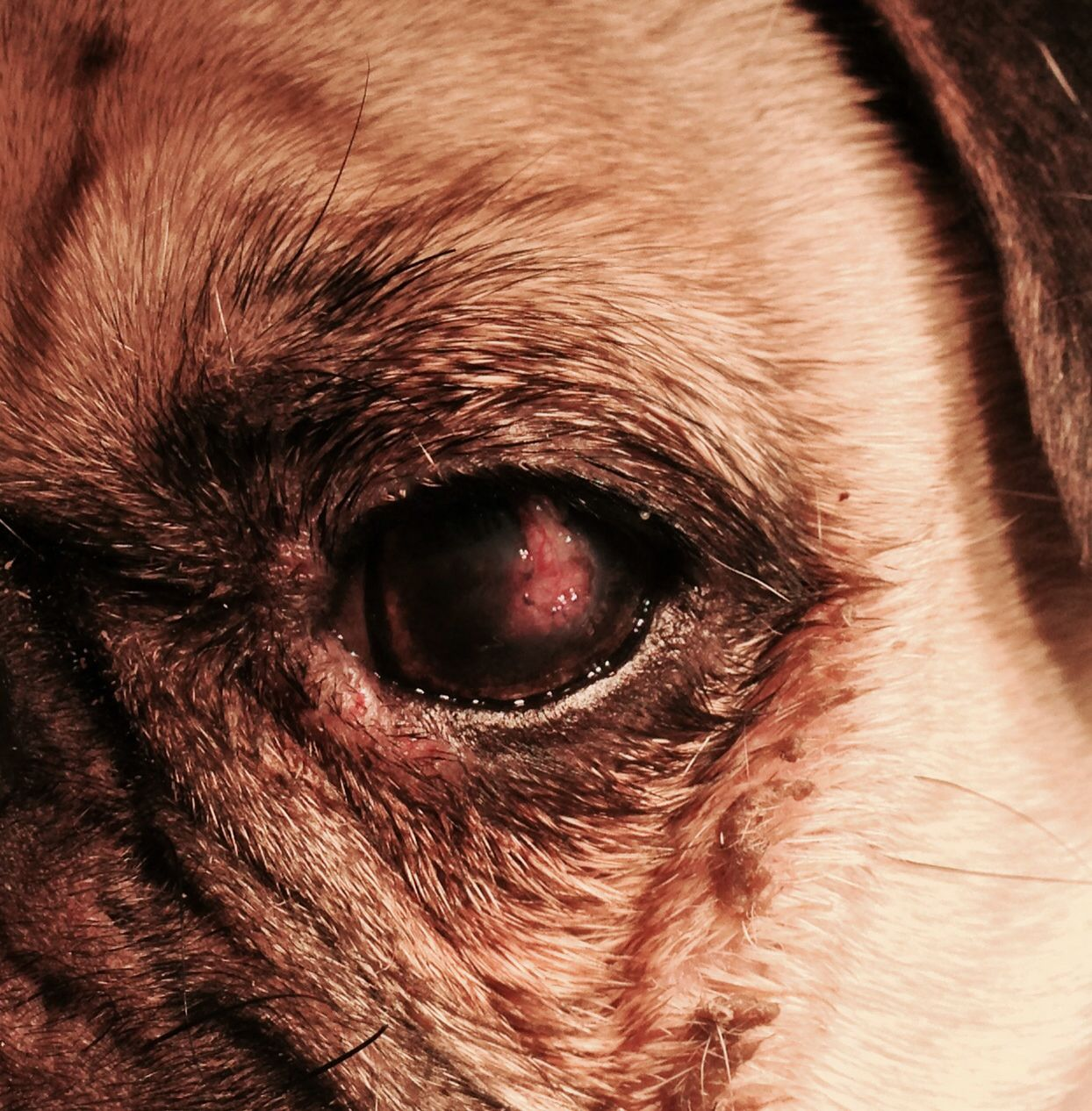 Pictures Of Ulcers In Dogs Eyes